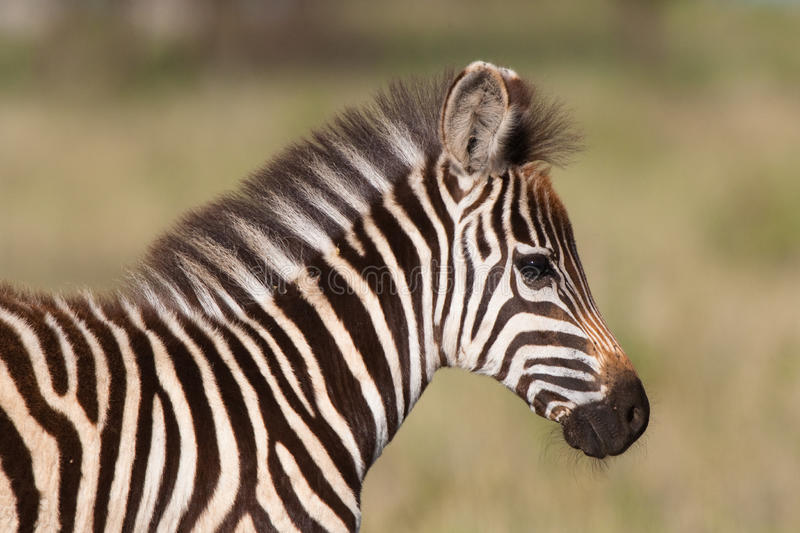 Zebra foal. A close up of a young burchell's zebra foal stock photo