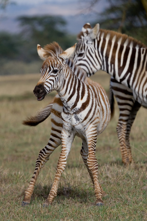 Zebra Foal. Young zebra foal in playful mood stock images