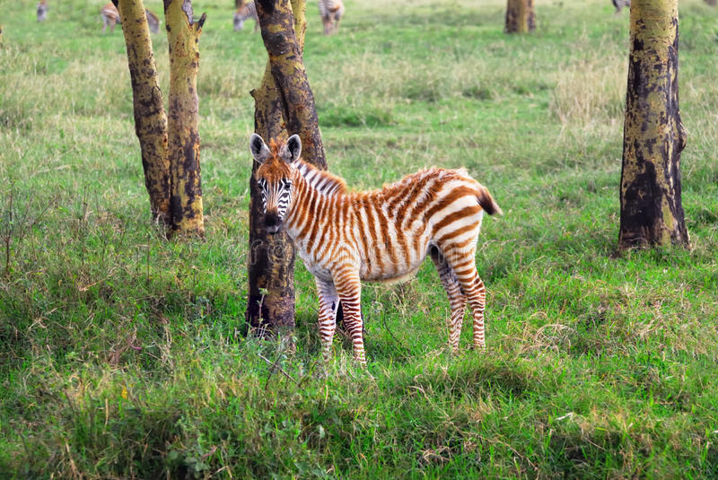 Download Zebra foal stock image. Image of horse, safari, wood - 24534387