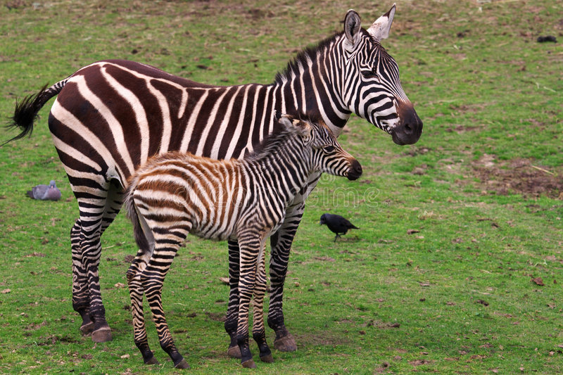Zebra with foal. Grevy Zebra with foal on a green field stock images