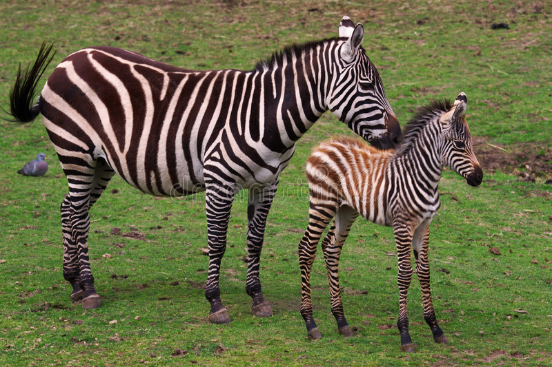 Zebra with foal. Grevy Zebra with foal on a green field royalty free stock image