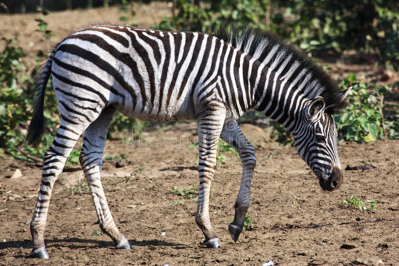 Zebra Foal. A Burchell Zebra foal in the Kruger National game park in South Africa stock photo