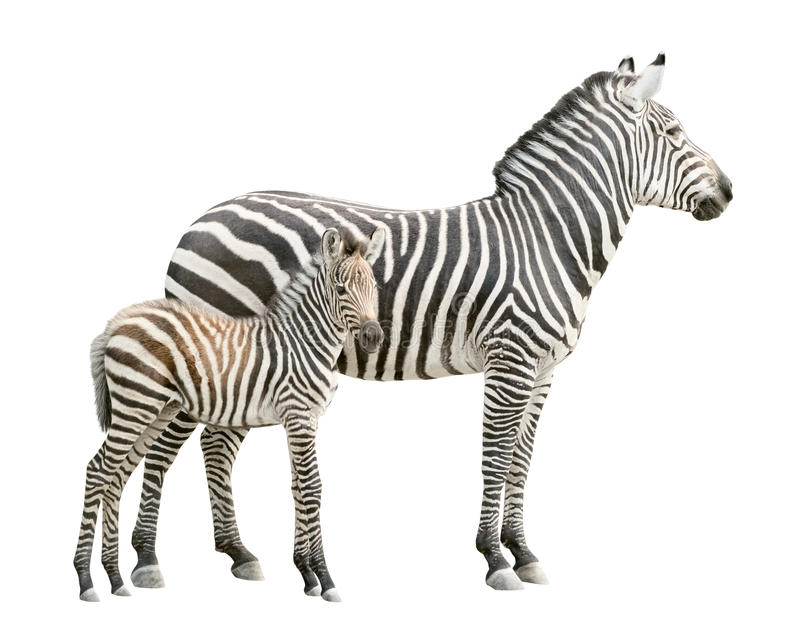 Zebra with foal cutout. Zebra and ten days old foal isolated on white background. Find more isolated fauna species in stock photo