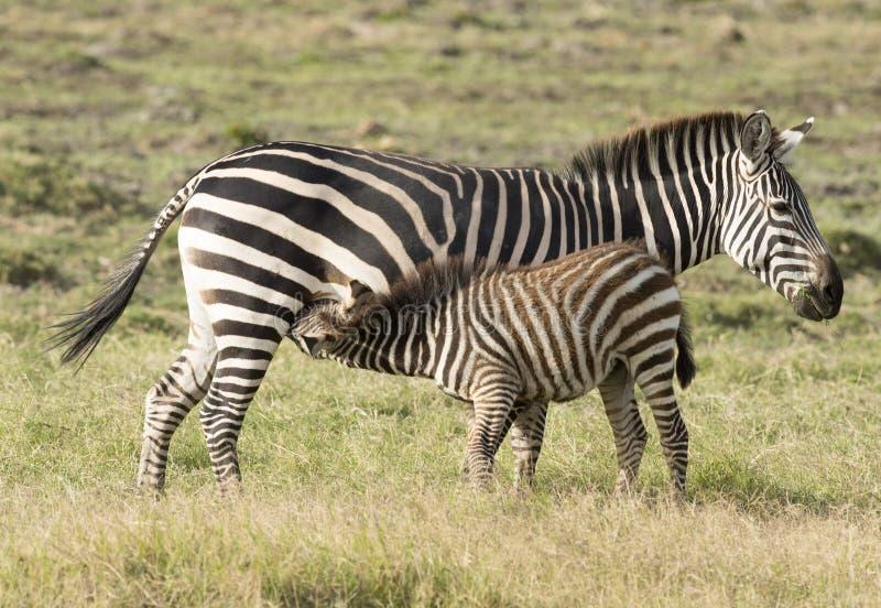 Zebra foal feeding. Kenya Africa Amboseli reserve zebra foal feeding royalty free stock photo