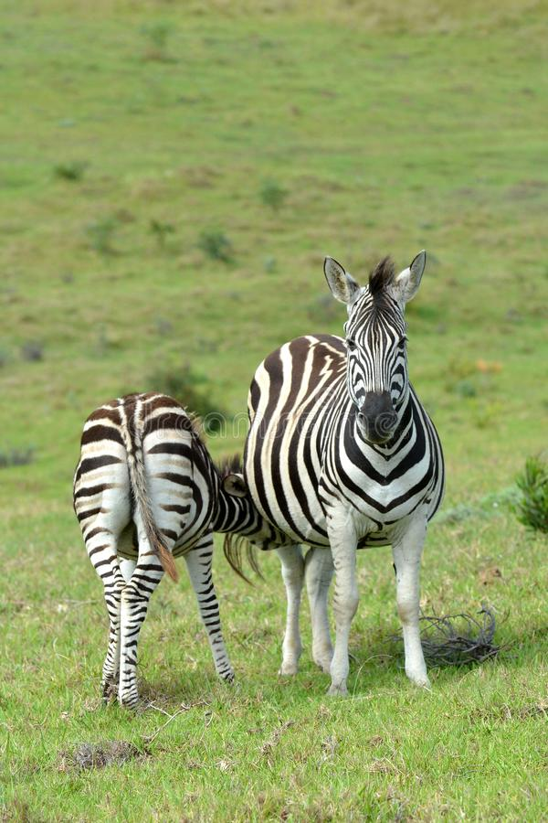 Zebra foal feeding in the wild. Zebra foal feeding on pregnant mare in the wild in South Africa stock photography