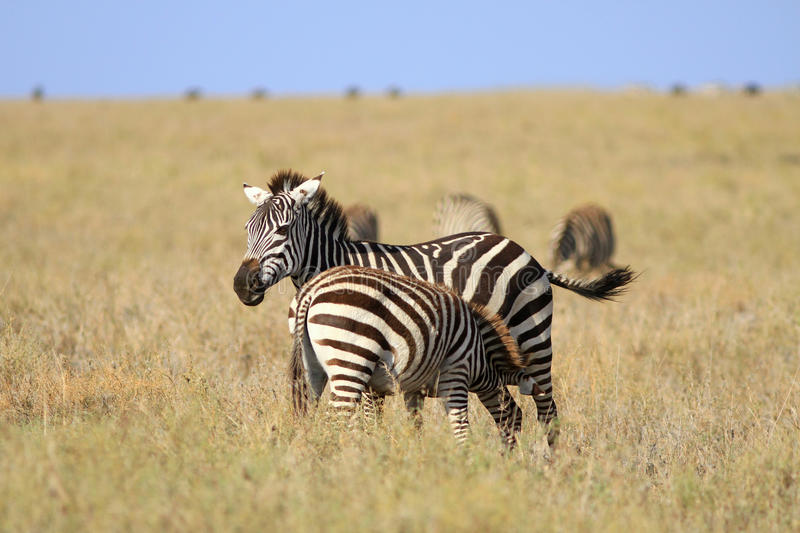 Zebra with a foal. The zebra feeds with milk of already grown up foal stock photos