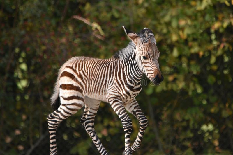 Zebra Foal. A four day old Hartmann`s zebra foal born in a zoo in the UK in October 2018 stock photos