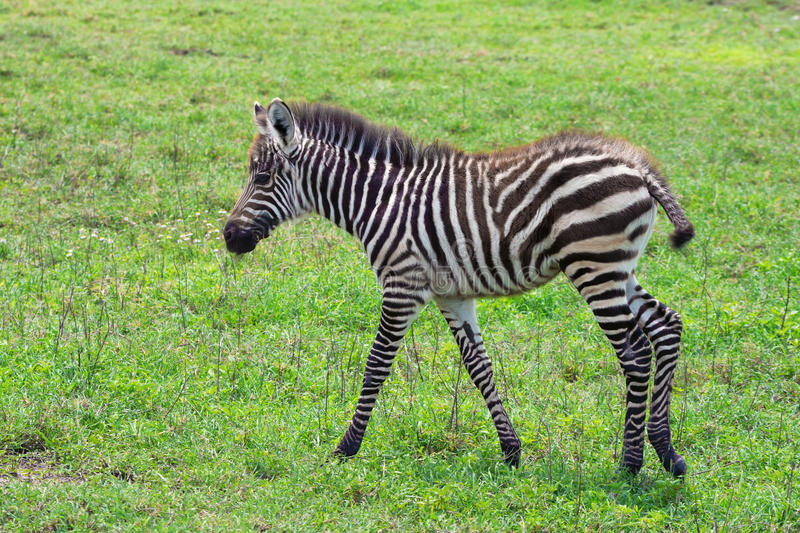 Zebra foal. Is grazing in African savanna stock photo