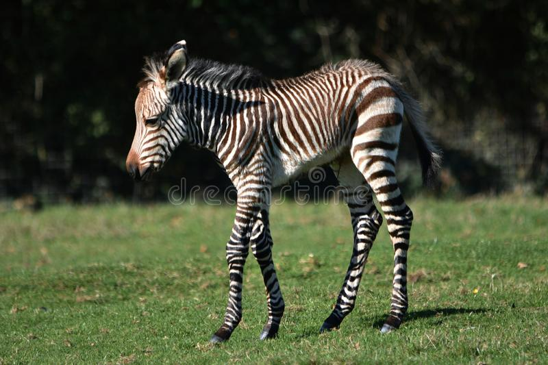 Zebra Foal Grevy`s zebra. A rare week old Grevy`s zebra foal walking on grass royalty free stock photography