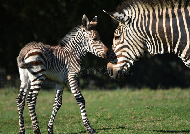 Zebra Foal with its mother. A rare week old Grevy`s zebra foal rubs noses with its mother royalty free stock images