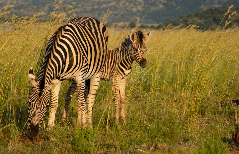 A zebra foal and dam in the grass. A zebra foal and its mother standing in the long grass of the savannah royalty free stock images