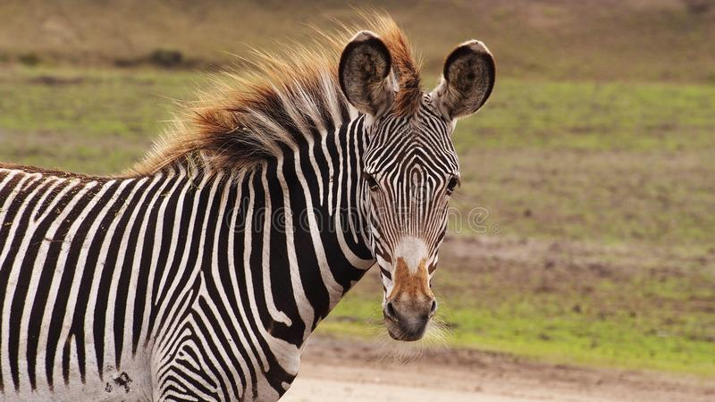 Zebra foal with long manes. Gravyi zebra foal close up royalty free stock photos