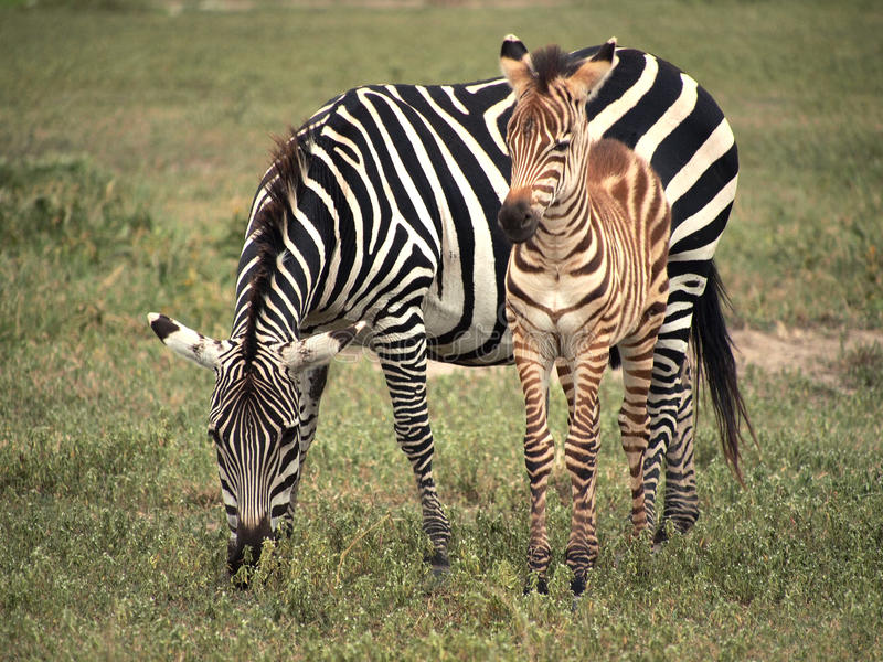 Zebra and Foal. Mother zebra grazing with her foal beside her stock photos