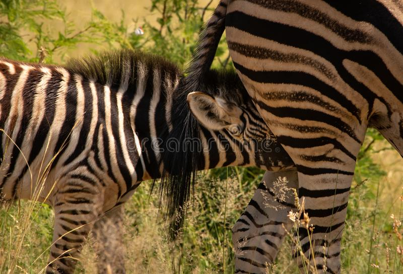 Zebra foal nursing. A zebra foal nursing from behind the dam stock images