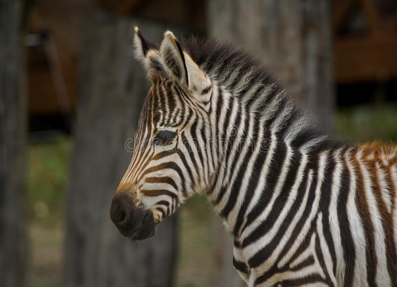 Zebra foal. Portrait of a small zebra foal, the zebar foal Standing and watching something stock photos