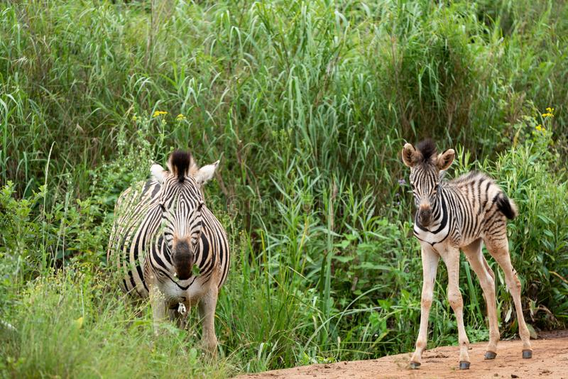 A zebra foal with it`s mother. A zebra foal approximately a week old, under the protection of it`s mother, in the Umgeni Valley Nature Reserve, Kwa-zulu Natal stock photo