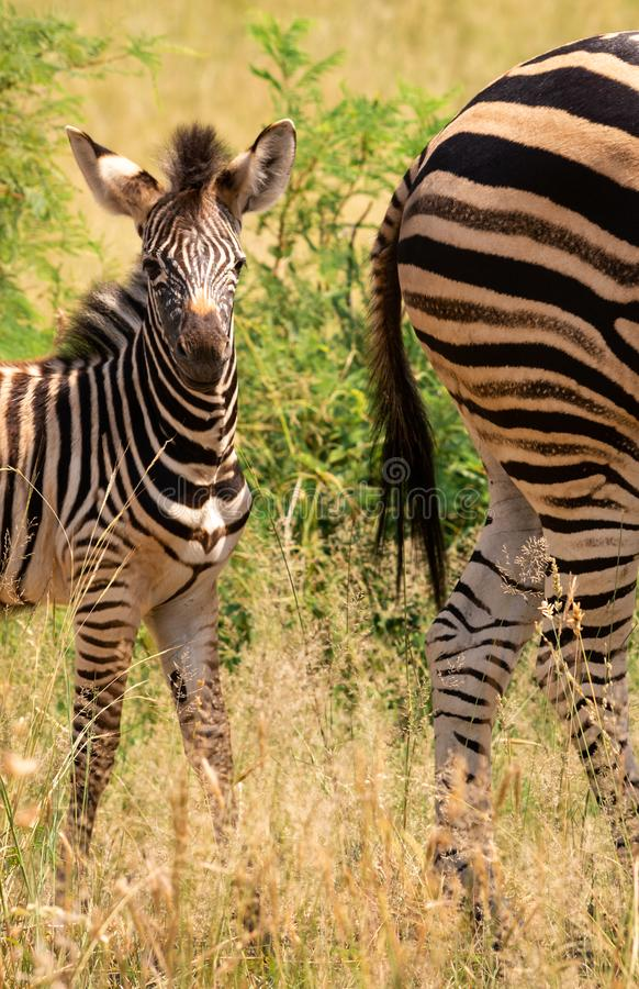 Zebra foal behind its dam. A zebra foal standing behind the mother royalty free stock photos