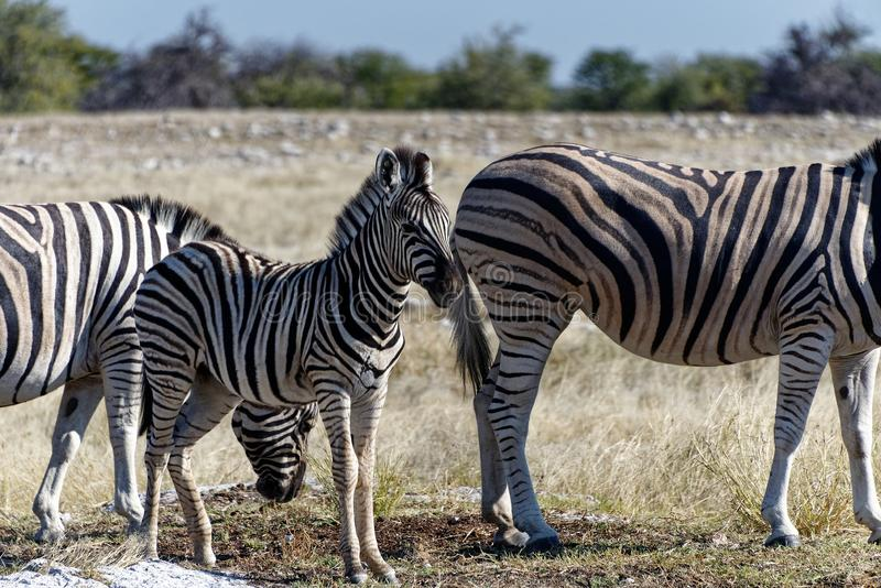 A zebra foal stands between two adults on the African plains stock photo