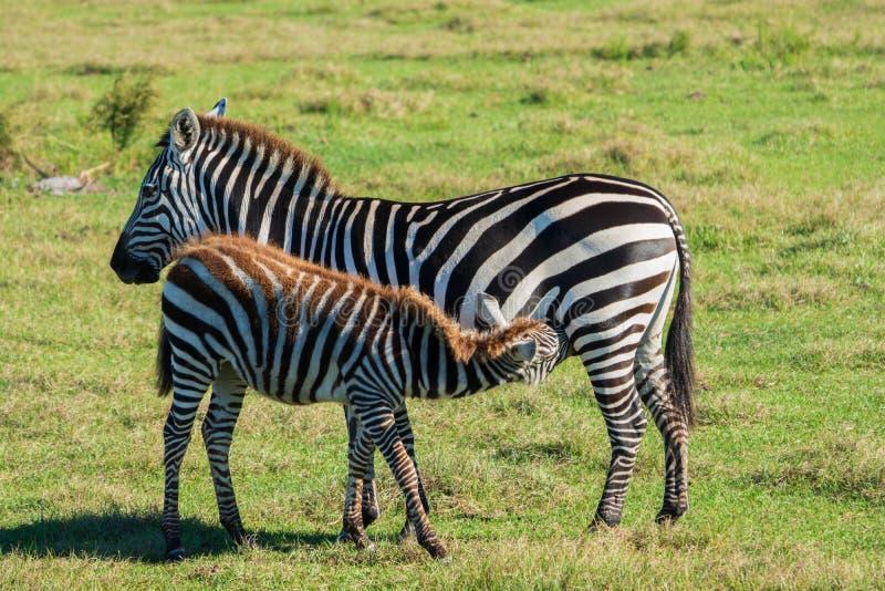 Zebra Foal Suckling from mom stock image