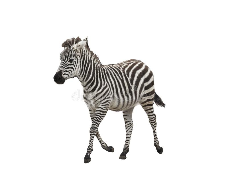Zebra foal on white background. Isolated stock photo