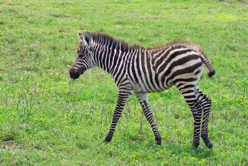 Zebra-Fohlen stockfoto