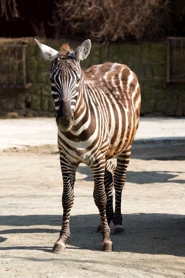 Download Zebra stock photo. Image of animal, psychedelic, horse - 36318986