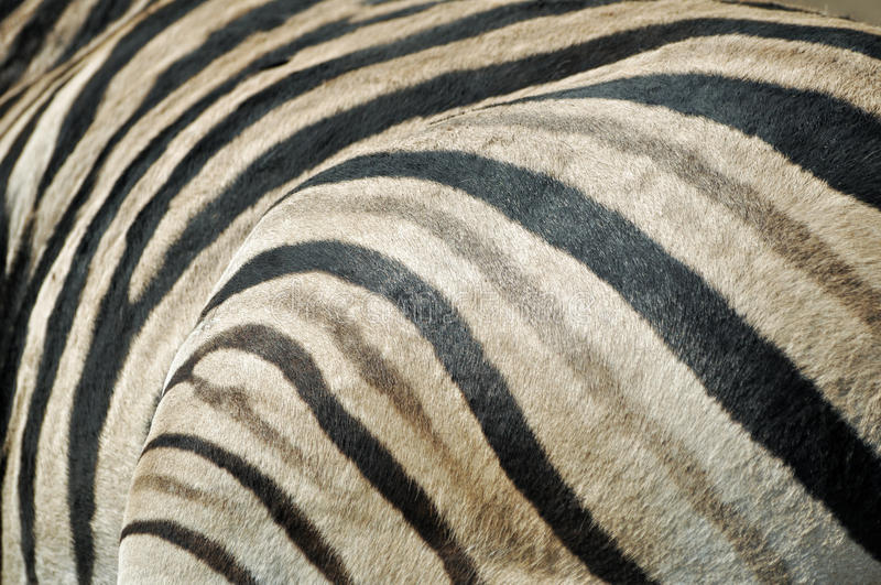 Zebra fur texture royalty free stock image