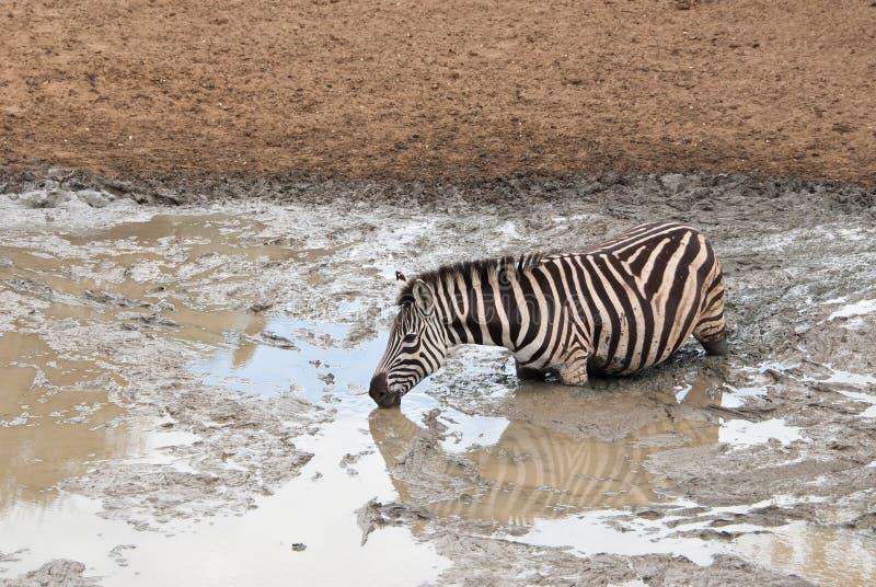 Zebra głęboko w błocie zdjęcia stock