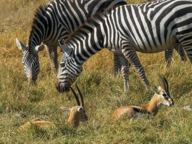 Zebra and gazelle feeding together at amboseli. Close up of zebra and gazelle feeding together at amboseli national park, kenya royalty free stock images