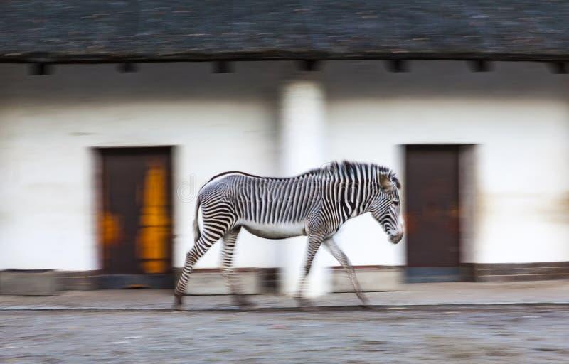 Zebra geht auf ein Zoovogelhaus stockfoto