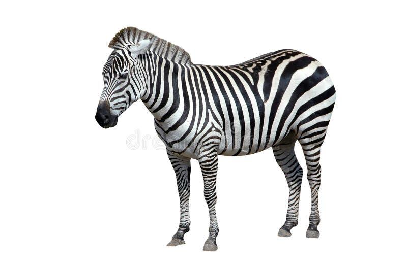 Zebra getrennt auf Weiß lizenzfreie stockfotos