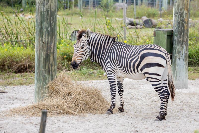 Zebra in gevangenschap stock afbeeldingen