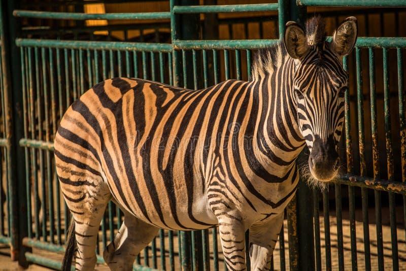 Zebra in gevangenschap royalty-vrije stock foto