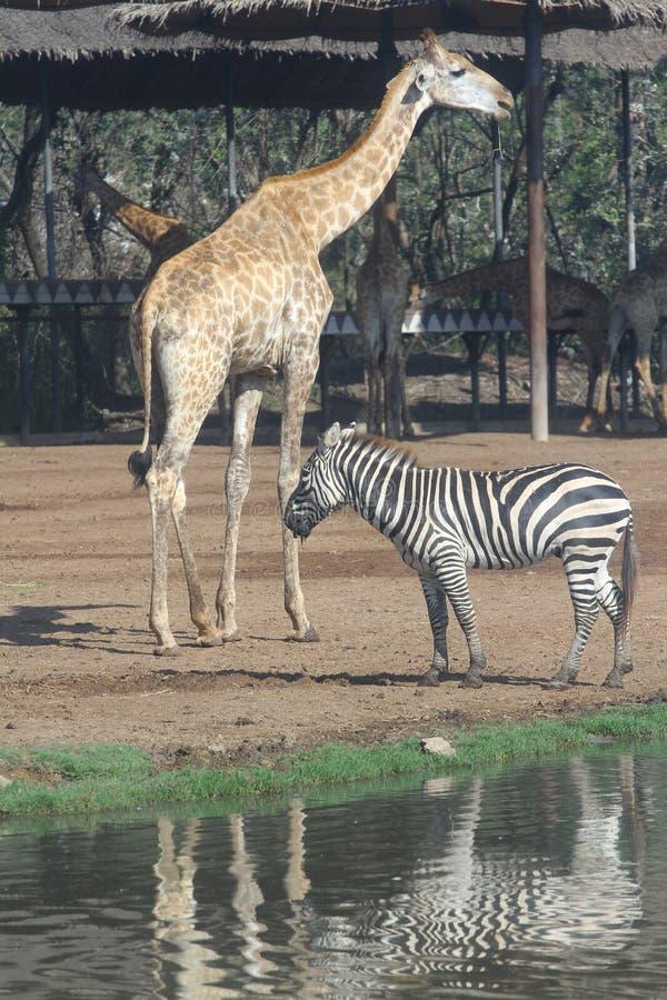 zebra and giraffe in open safari royalty free stock image