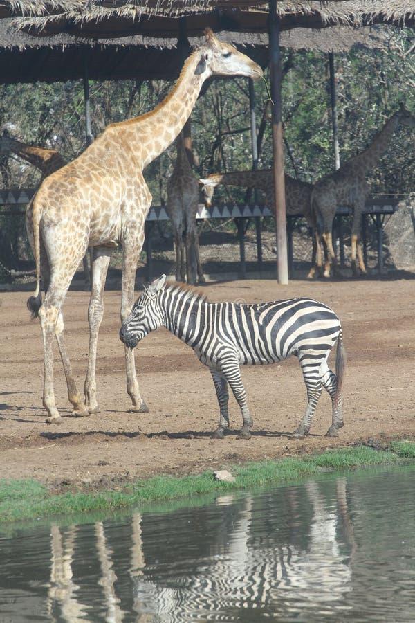 zebra and giraffe in open safari stock photos