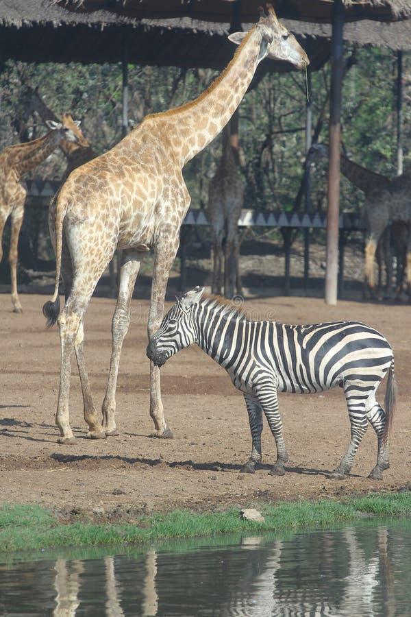 zebra and giraffe in open safari royalty free stock photo