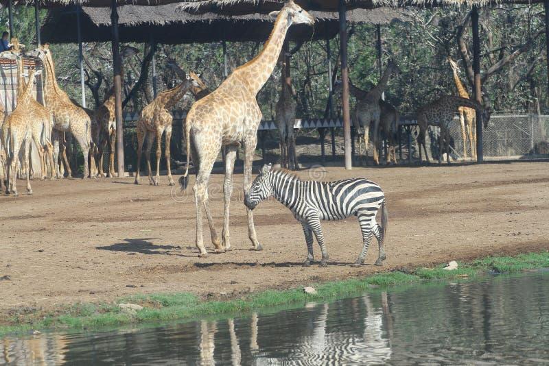 zebra and giraffe in open safari stock images