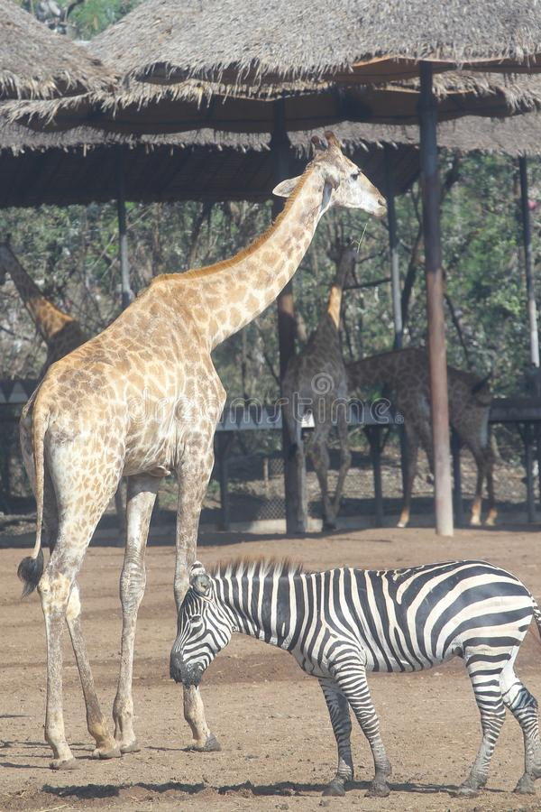zebra and giraffe in open safari royalty free stock images