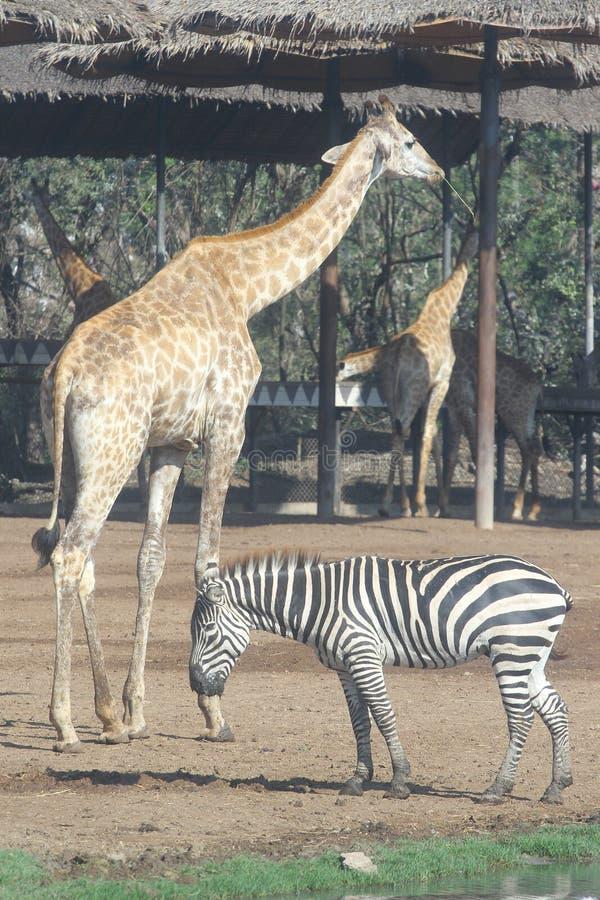 zebra and giraffe in open safari royalty free stock photography