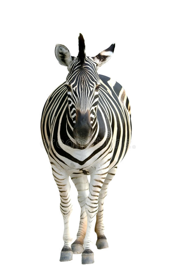 Zebra grávida fotografia de stock