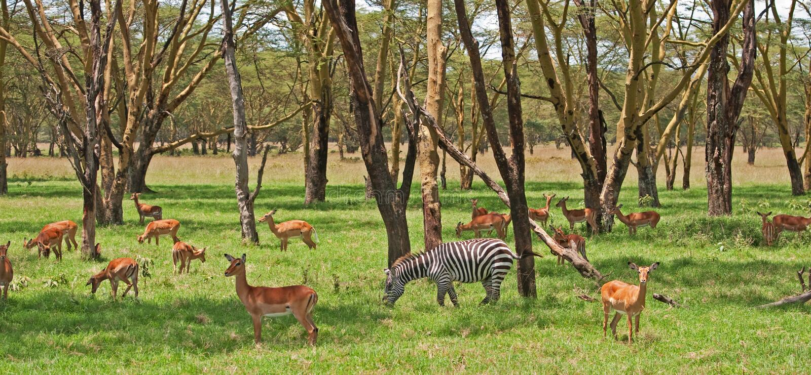 Zebra and Grant Gazelle stock photos
