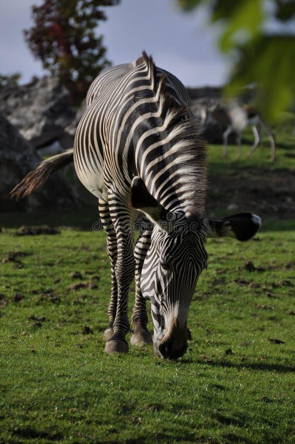 Zebra Grazing Royalty Free Stock Photos