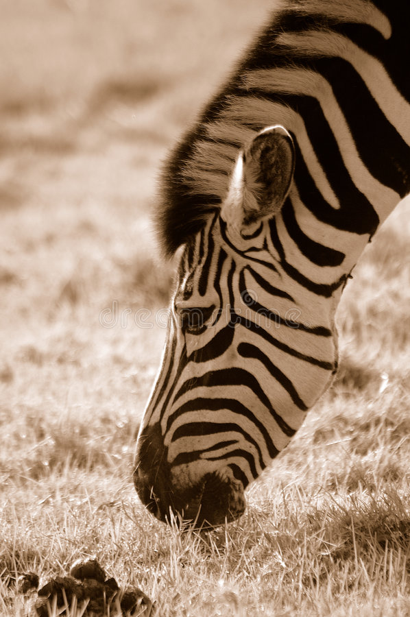 Zebra grazing. A beautiful Zebra head profile portrait busy feeding by grazing in a game park in South African savanna stock photography