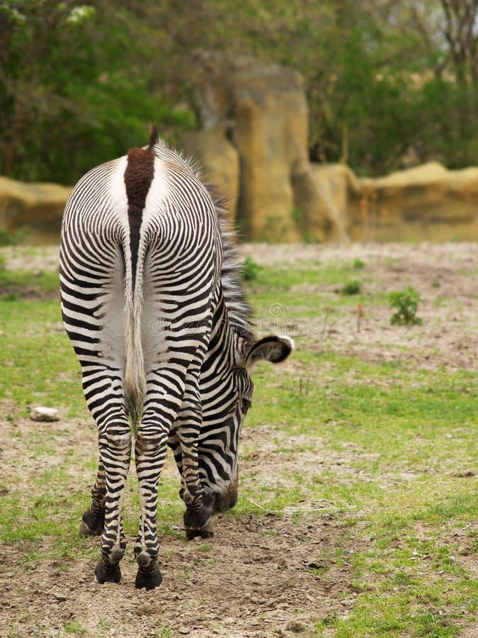 Free Zebra Grazing Stock Photos - 2479663