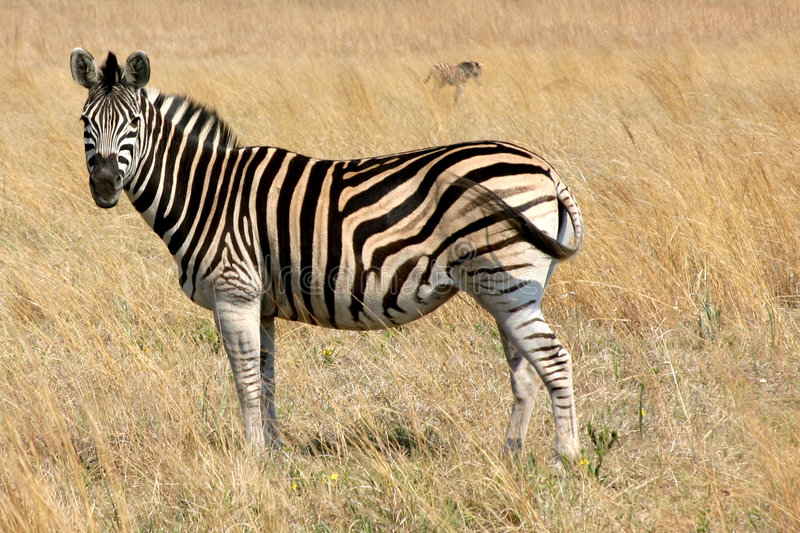 Zebra grazing in a field stock photography