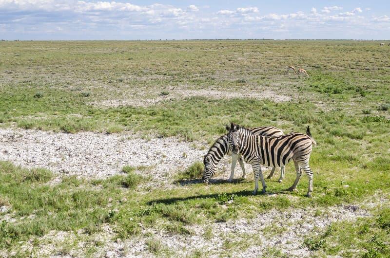 Zebra grazing stock images