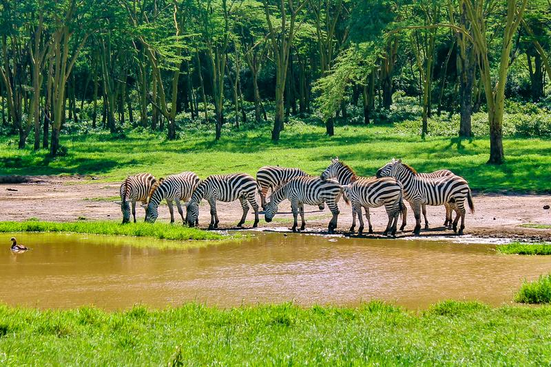 Zebra grazing in the wild stock photography