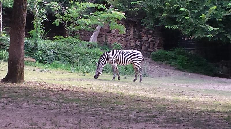 Zebra graziosa fotografia stock libera da diritti