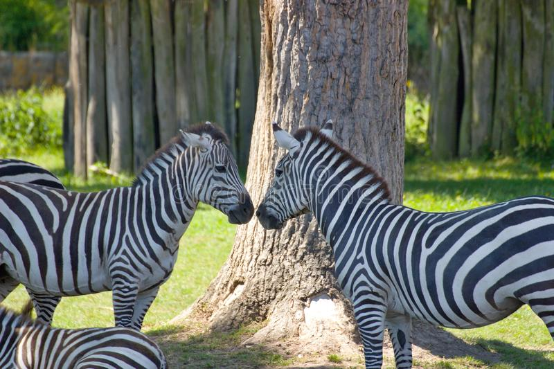 Zebra greeting. Two zebras to show affection royalty free stock image