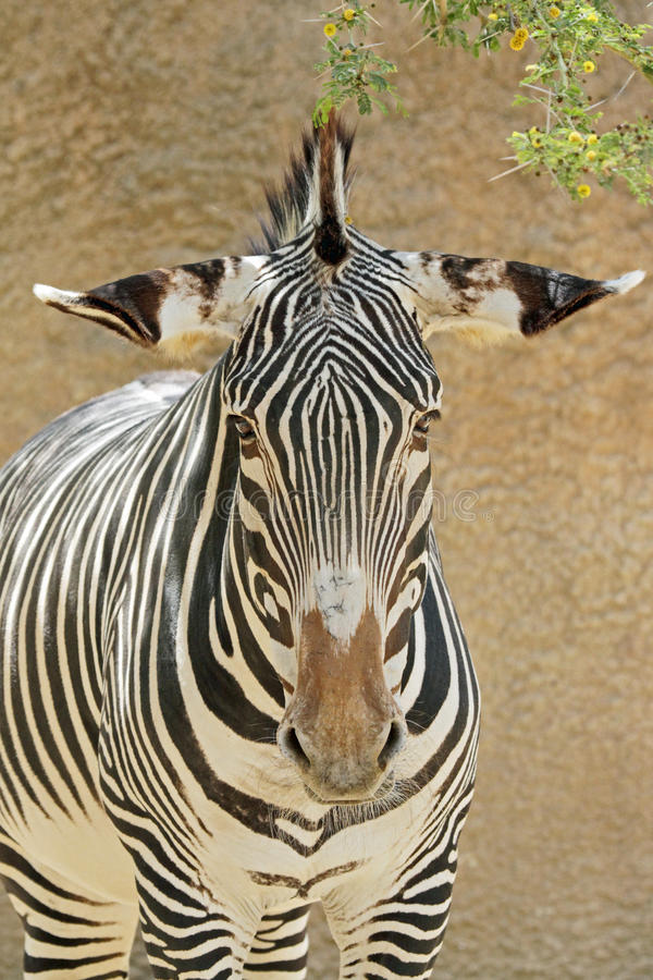 Zebra. Grevy's Zebra Close Up With Thorn Tree stock images